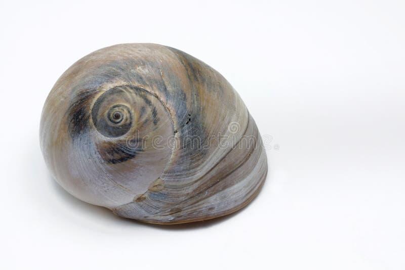 Escargot de mer, d'isolement sur le fond blanc image libre de droits