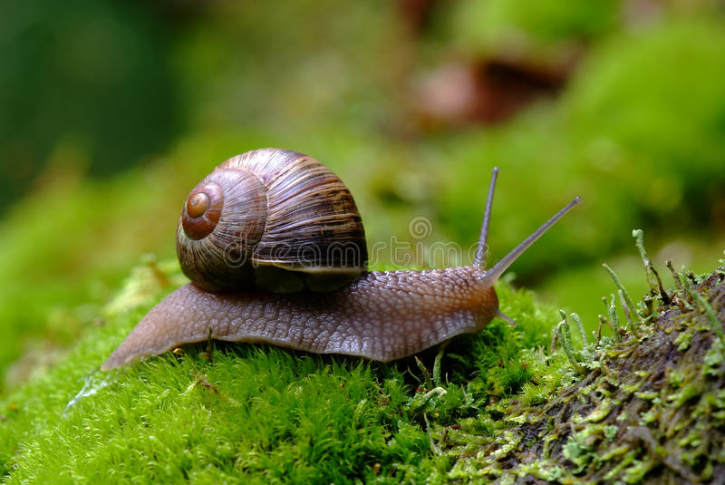 Escargot (de pomatia d'helice) images stock