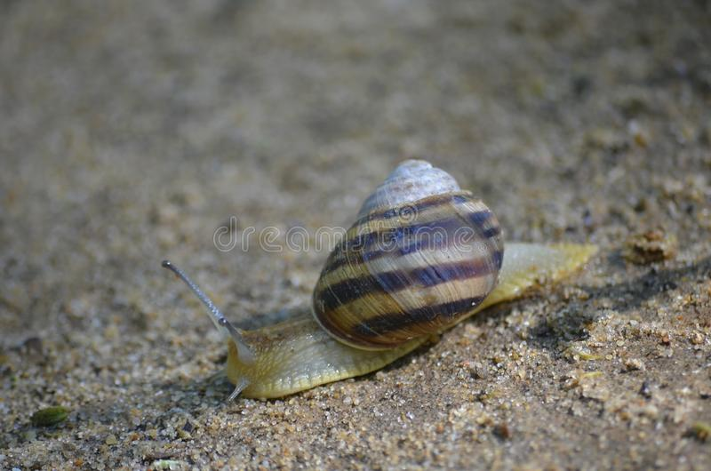 Escargot de raisin rampant sur le sable Macro photo libre de droits