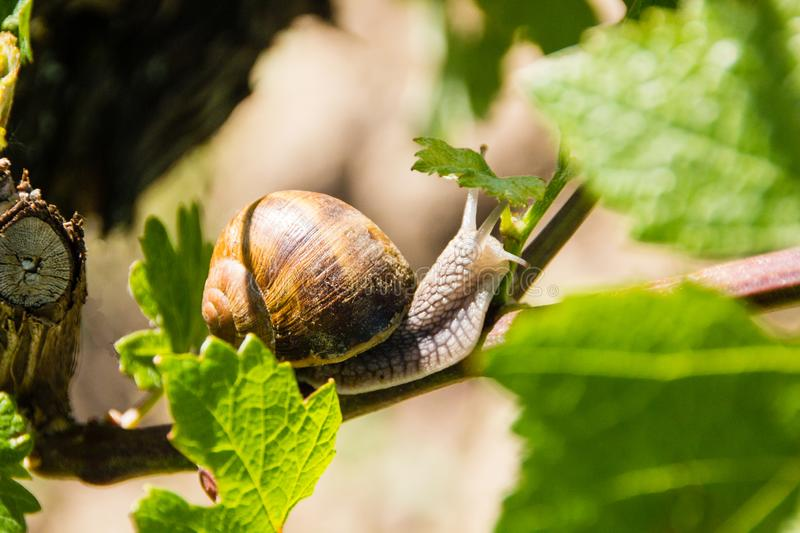 Escargot de terre comestible latin : Pomatia d'h?lice photo stock