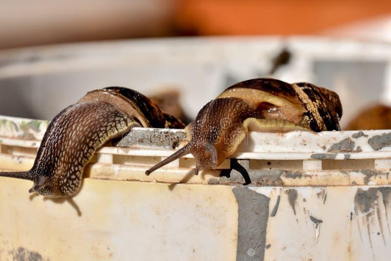 Escargot do caracol comestível foto de stock royalty free