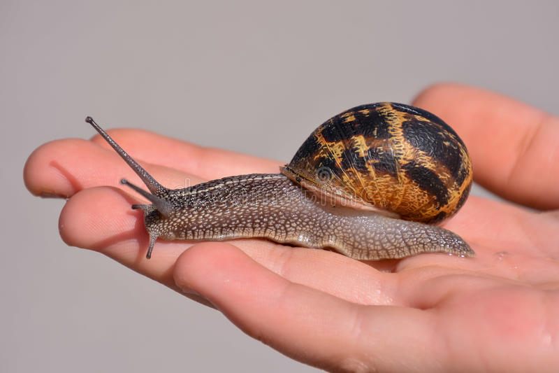 Escargot do caracol comestível fotografia de stock