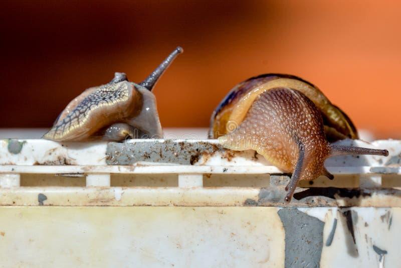 Escargot do caracol comestível imagem de stock