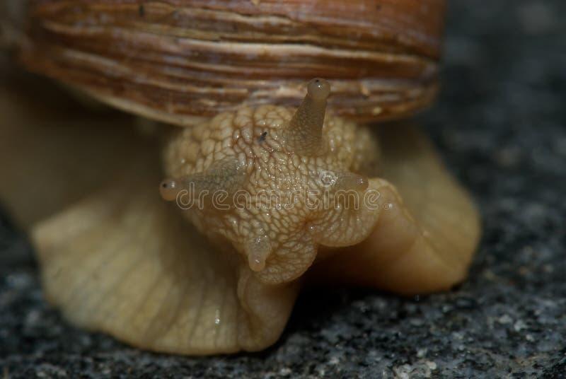 Escargot en gros plan photo libre de droits