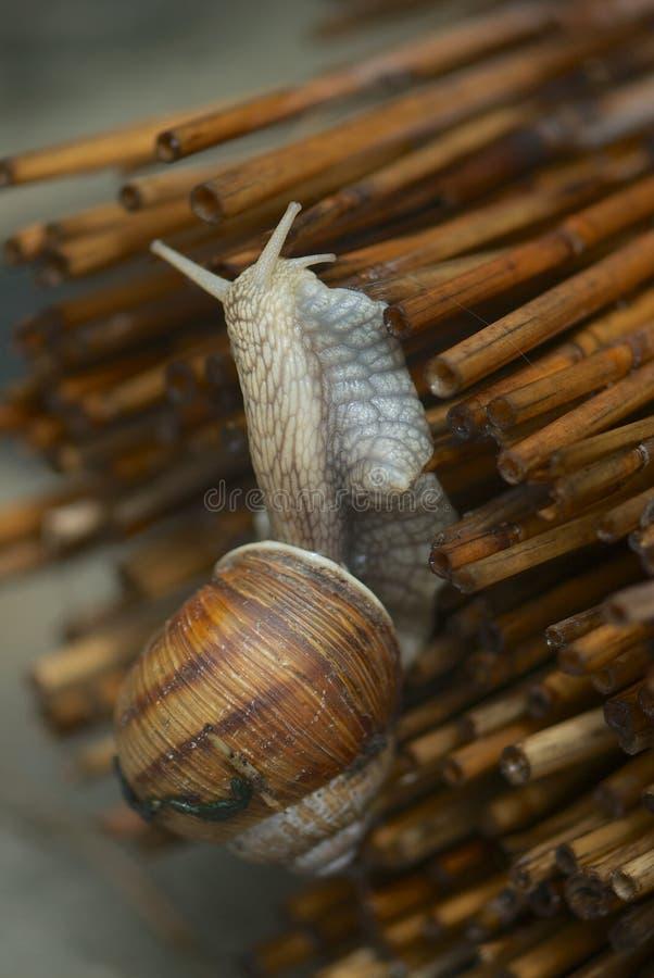 Escargot en gros plan images stock