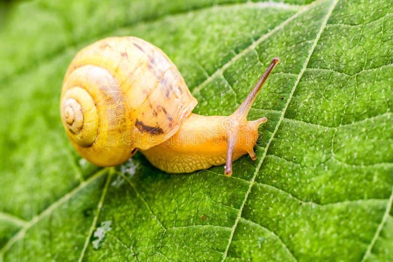 Escargot jaune sur la feuille photos libres de droits