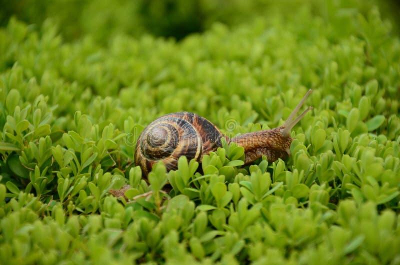 Escargot (macro) image libre de droits