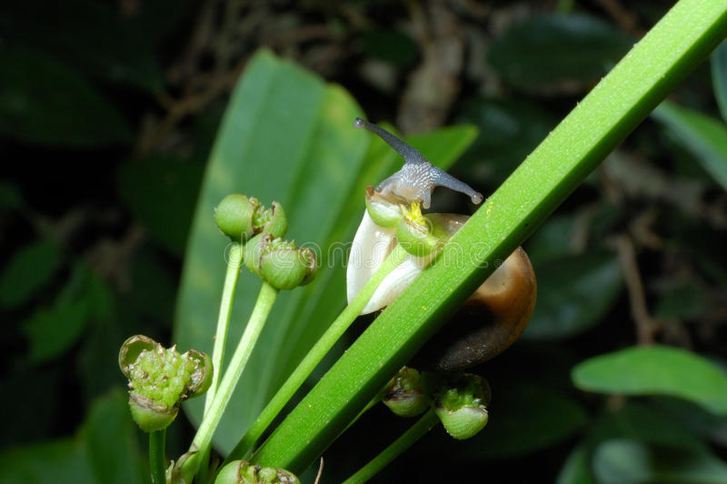 Escargot mangeant le pollen jaune photos stock