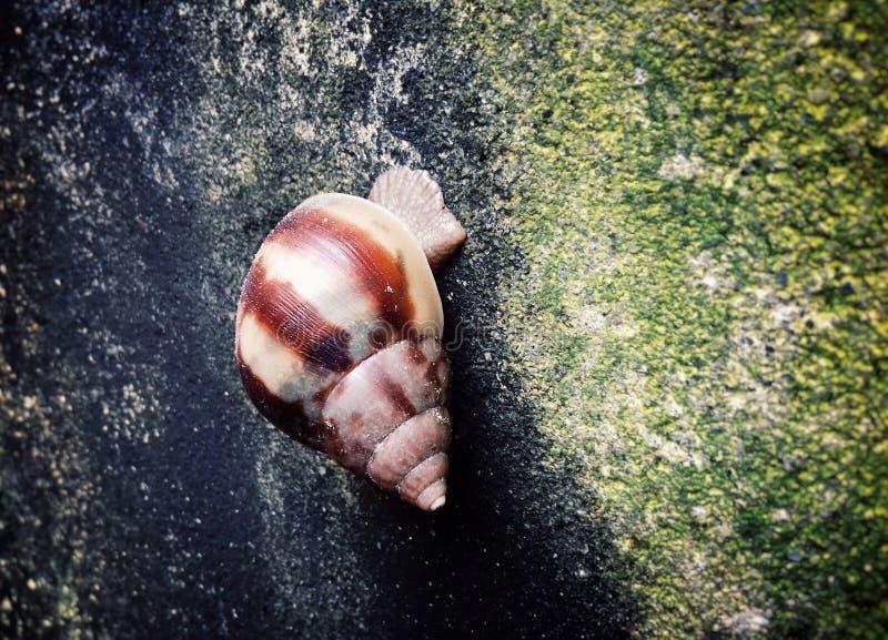 Escargot marchant sur le mur photographie stock libre de droits
