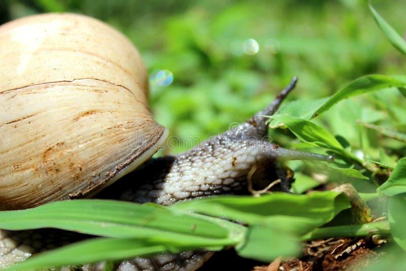 Escargot nomade image stock