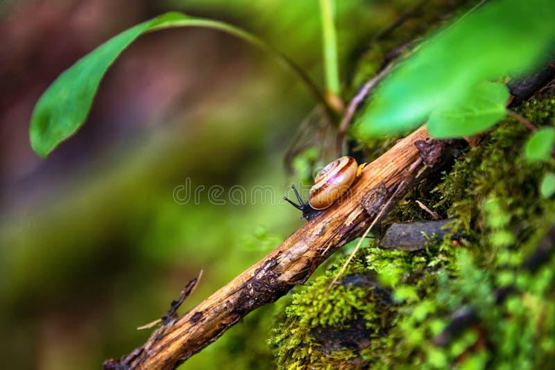 Escargot rampant sur une branche d'arbre images stock