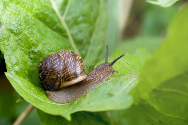 Escargot rampant sur une feuille verte large après la pluie photographie stock