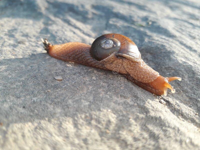 Escargot rouge images stock