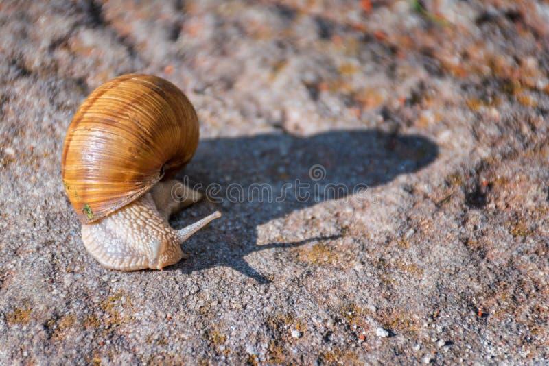 Escargot se déplaçant lentement sur la roche image libre de droits