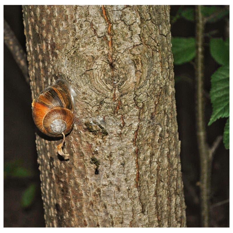 Escargot sur l'arbre photographie stock libre de droits