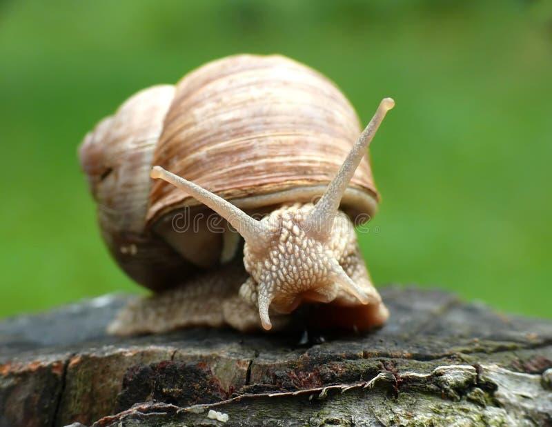 Escargot sur l'arbre photographie stock