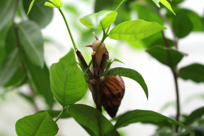 Escargot sur l'arbre vert mangeant lentement des feuilles photographie stock libre de droits