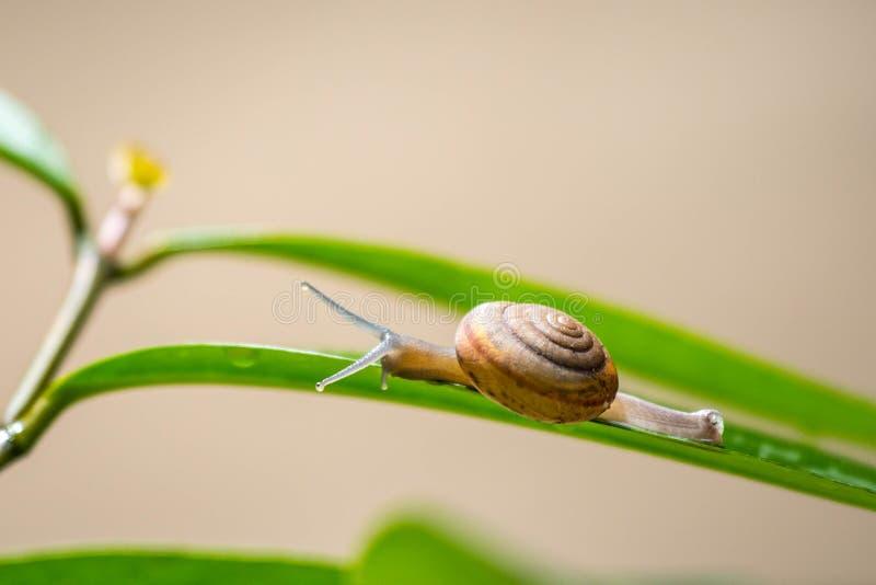 Escargot sur la feuille verte images stock