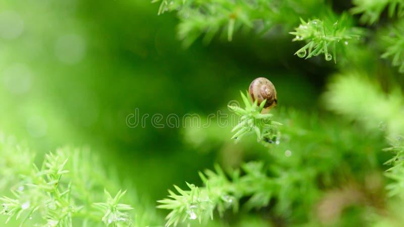 Escargot sur la feuille verte avec la baisse après pluie photos stock