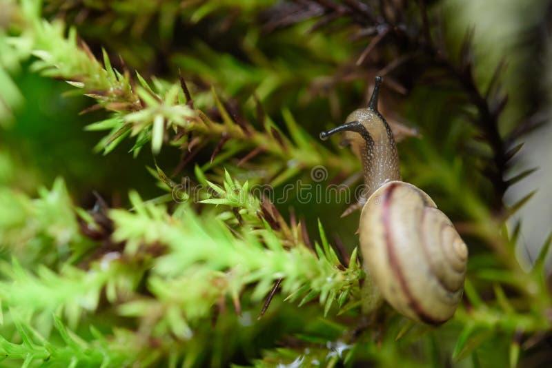 Escargot sur la feuille verte avec la baisse après pluie image libre de droits