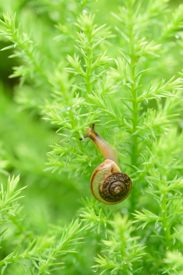Escargot sur la feuille verte avec la baisse après pluie photographie stock