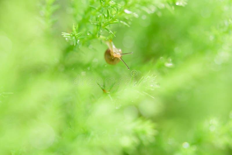 Escargot sur la feuille verte avec la baisse après pluie photo libre de droits