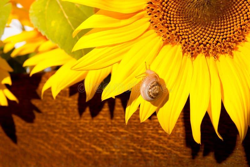 Escargot sur la fleur du soleil photographie stock libre de droits