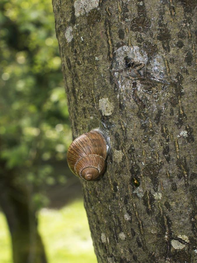 Escargot sur la tige d'arbre photographie stock libre de droits