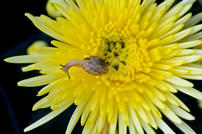 Escargot sur le chrysanthème jaune images stock