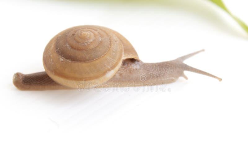 Escargot sur le fond blanc image libre de droits