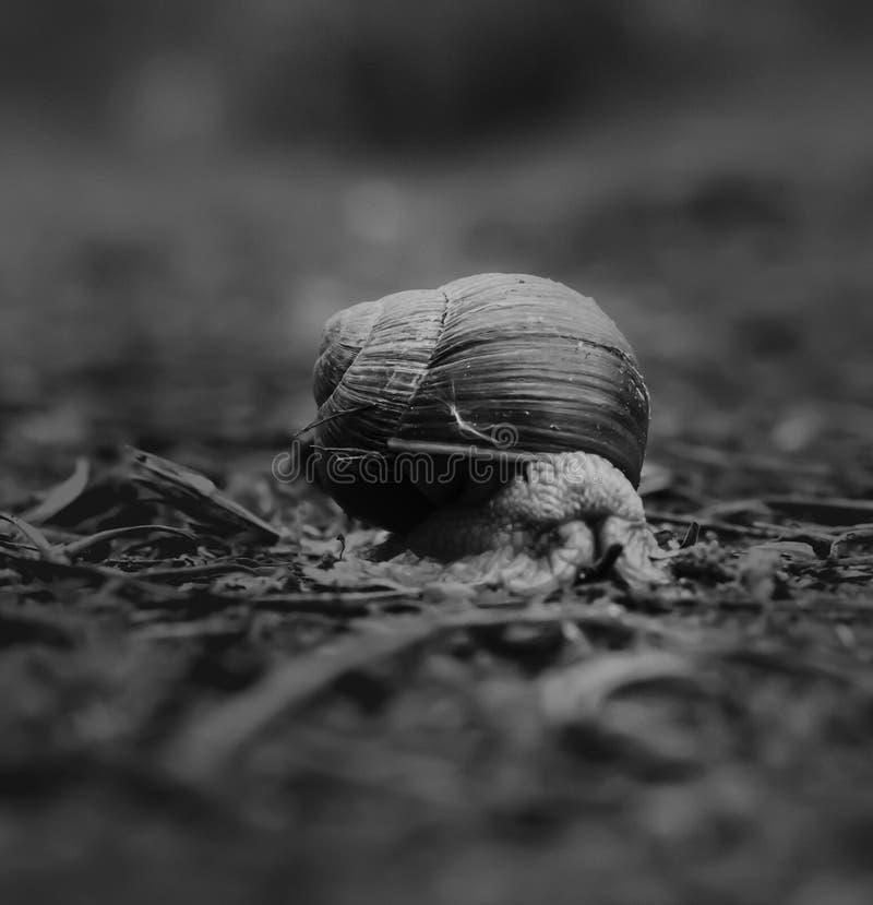 Escargot sur un chemin dans la forêt photographie stock libre de droits
