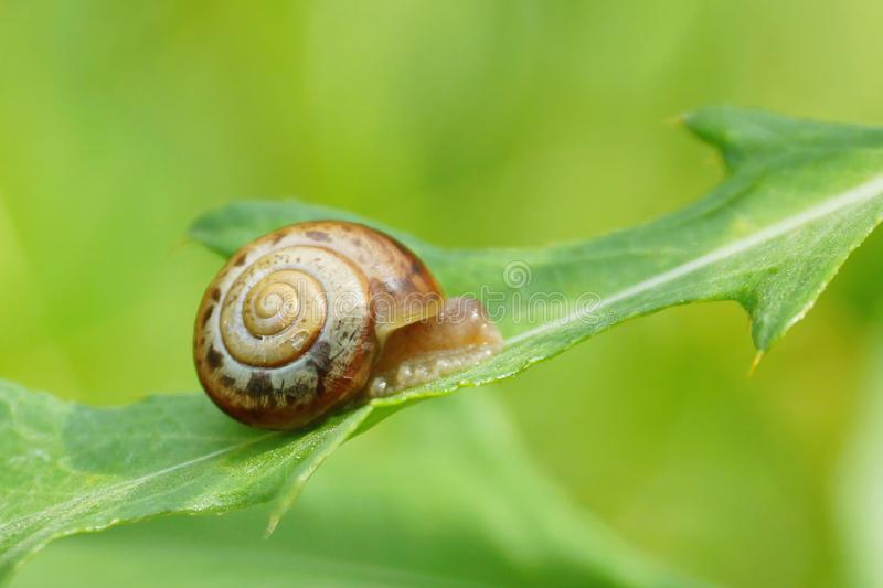 escargot sur un plan rapproché vert de feuille photographie stock