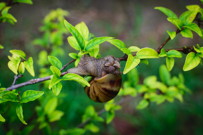 Escargot sur une branche d'arbre photographie stock libre de droits