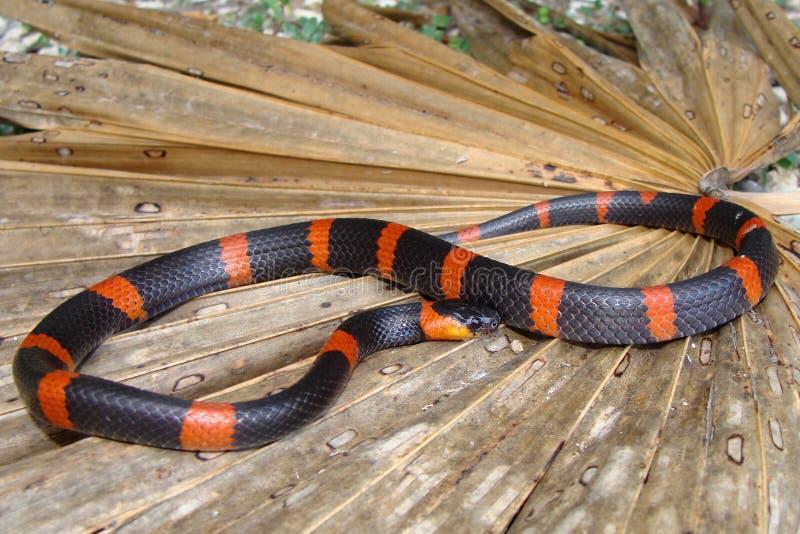 Escargot terrestre mangeant le serpent photos libres de droits