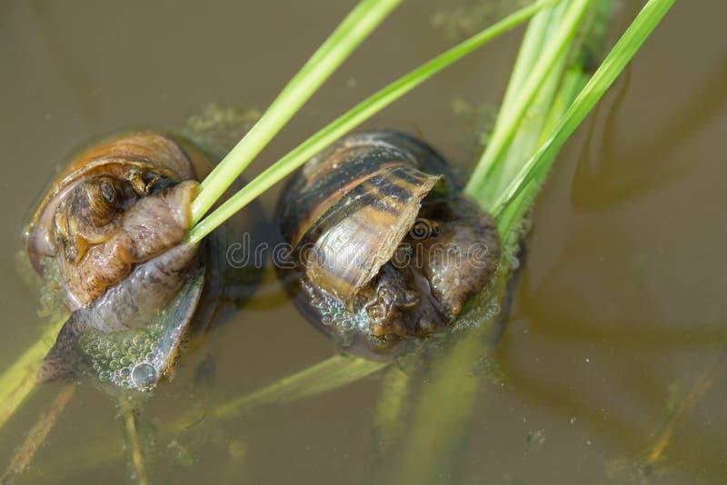 Escargots dans des domaines de riz image libre de droits