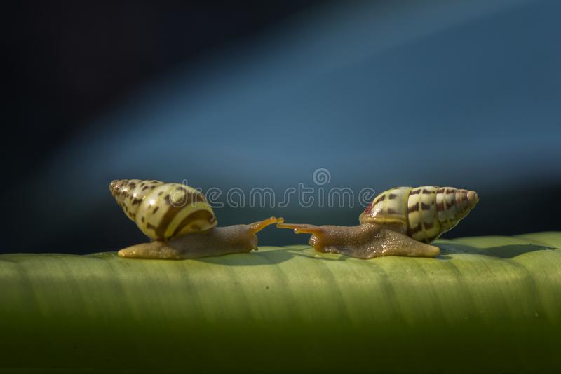 Escargots de duo photo stock