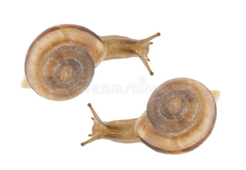 Escargots de jardin photo libre de droits