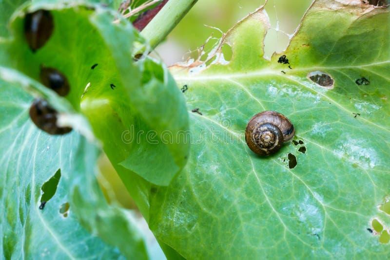 Escargots de taillis mangeant des feuilles de pois photo libre de droits