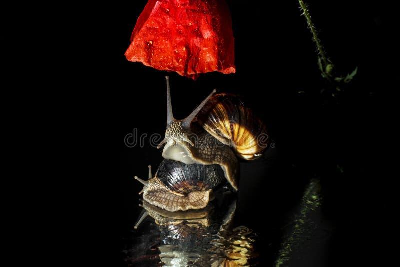 Escargots et fleur de pavot photo stock