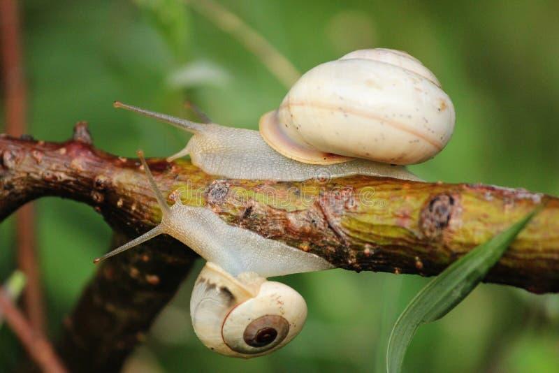 Escargots glissant sur une tige, macro tir avec le fond vert photographie stock