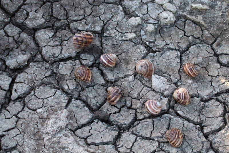 escargots morts de raisin sur la terre criquée photographie stock libre de droits