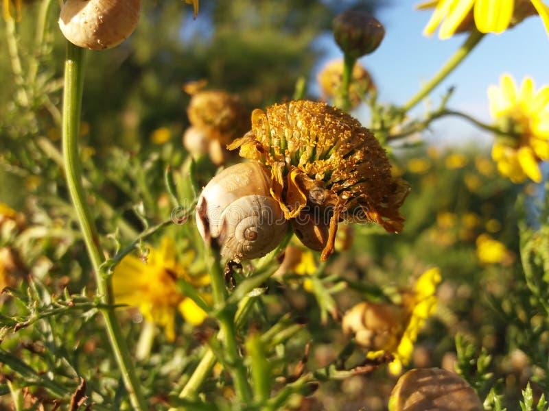 Escargots sur la fleur jaune de ressort images libres de droits