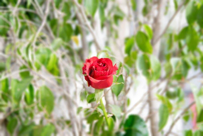 Escarlata Rose imágenes de archivo libres de regalías