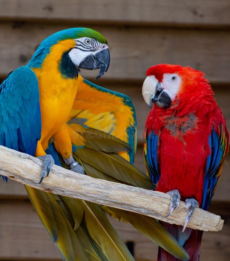 Escarlata y loros azul-y-amarillos, p?jaros ex?ticos coloridos de cola larga del Macaw fotos de archivo libres de regalías