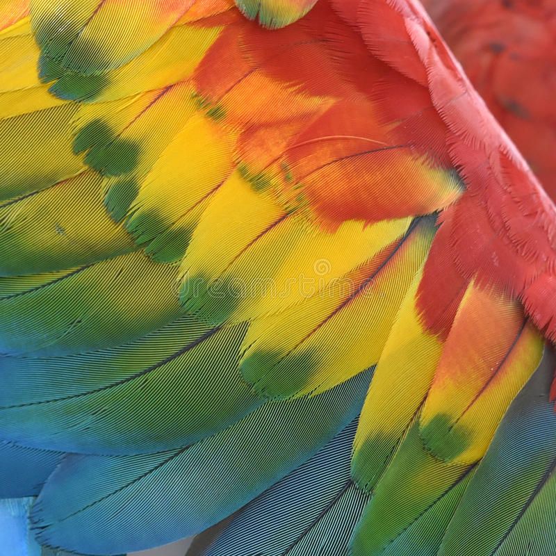 Escarlate bonito da arara do pássaro imagem de stock royalty free