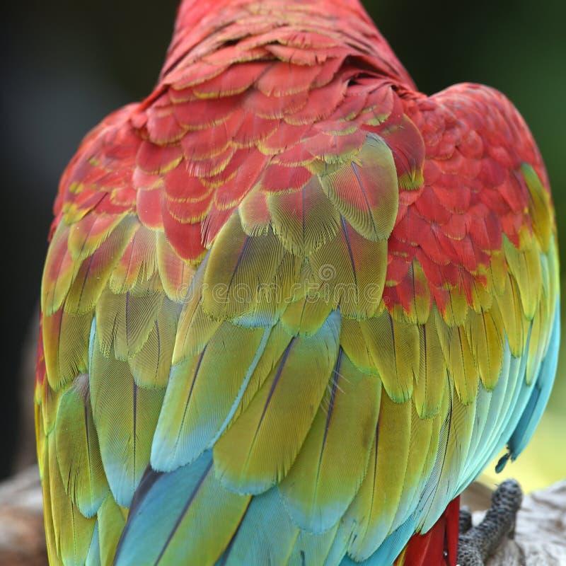 Escarlate bonito da arara do pássaro imagens de stock royalty free
