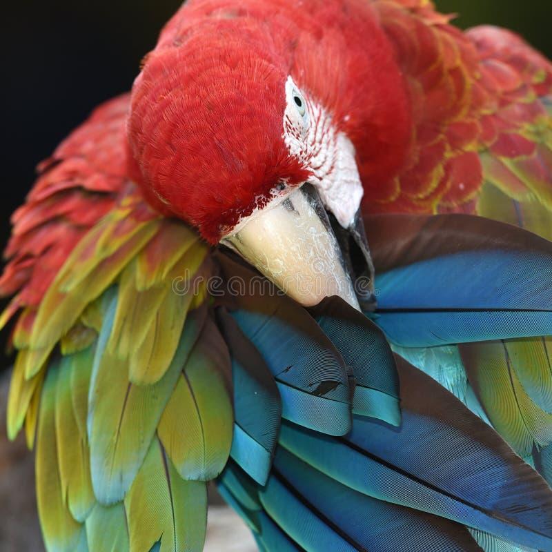 Escarlate bonito da arara do pássaro fotos de stock royalty free