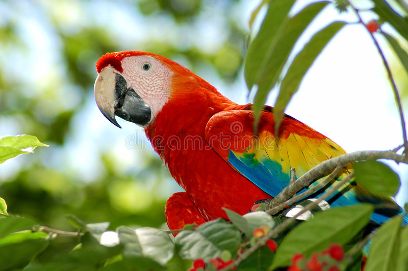 Escarlate colorido do Macaw foto de stock royalty free