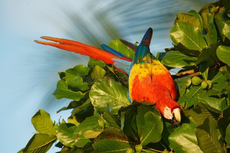 Escarlate da arara - central e sul vermelhos de macao das aros grande, amarelos, e azuis - papagaio americano, nativo às floresta imagem de stock royalty free