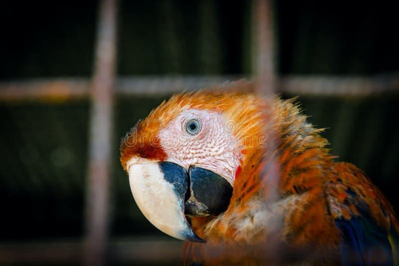 Escarlate da arara que faz o contato de olho do interior de sua gaiola no fim do captiveiro acima do olhar curioso do retrato fotografia de stock